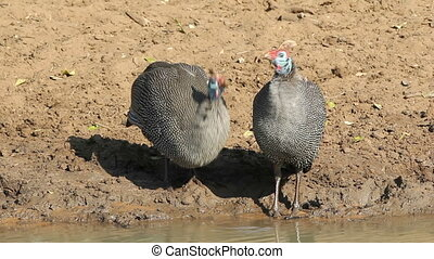 Helmeted guineafowls Numida meleagris drinking water, South...