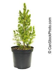 green fir tree in a pot