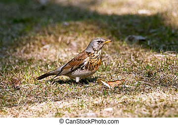 fieldfare - one fieldfare bird portrait on yellow grass
