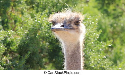 Female Ostrich CU - A close up look at a very unique bird....