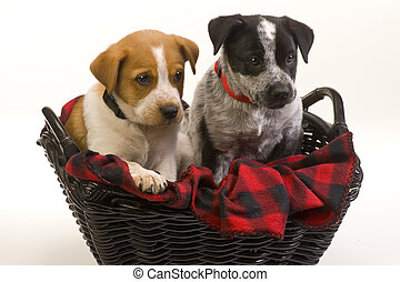 Texas Red and Blue Heelers Pups - Texas Red and Blue Heelers...