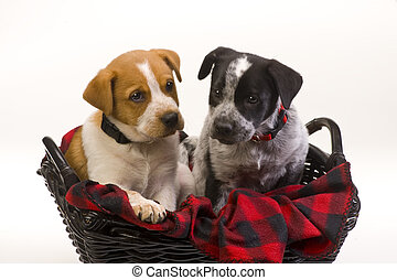 Texas Red and Blue Heelers Pups. - Texas Red and Blue...