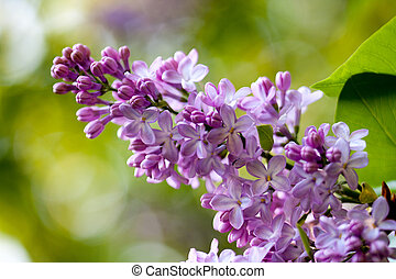 Bunch of violet fragrant pink lilac