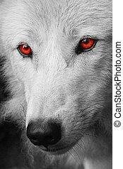biały, Wilk
