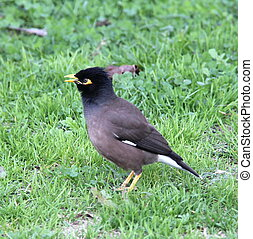 Common Mynah Bird singing - Common Mynah Bird (Acridotheres...