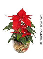 beautiful poinsettia red christmas flower on white...