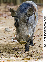 Warthog or Common Warthog, Phacochoerus africanus, is a wild...