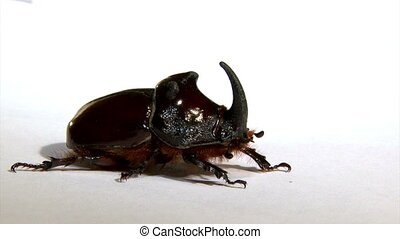 Rhinoceros beetle aproaches - Rhinoceros beetle, isolated on...