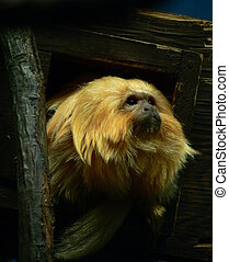 golden lion tamarin - Captive golden lion tamarin peering...