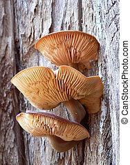 mushrooms on tree - Three gilled mushrooms growing on a tree...