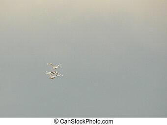three tundra swans - Tundra swans and overcast sky
