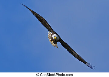 Bald Eagle flying directly toward the viewer with blue sky...