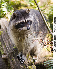 Raccoon on a Rock - A North American Raccoon stands on Rock...