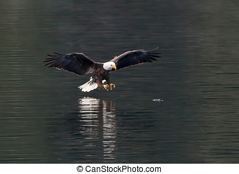 Eagle swoops to catch fish. - A bald eagle is swooping in to...