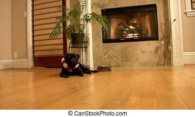 Christmas Pug looks sad - Christmas Pug dolly shot. She...