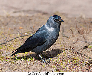 jackdaw - Portrait of a jackdaw in the spring close up