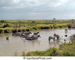afrikas,  Zebras
