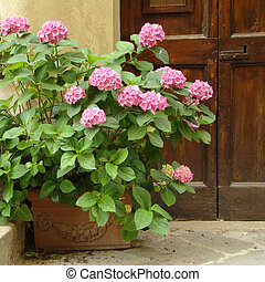 pink hortensia in front of the door
