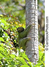 Three-toed Sloth - A Three-toed Sloth climbing down the tree...