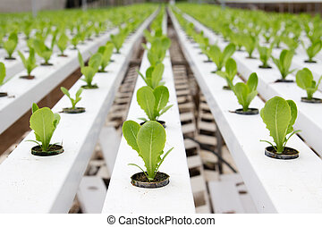 Hydroponic vegetable plantation - Organic hydroponic...
