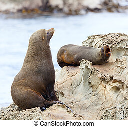 Sea Lion's life - Hooker's Seal Lions on a rock on the New...