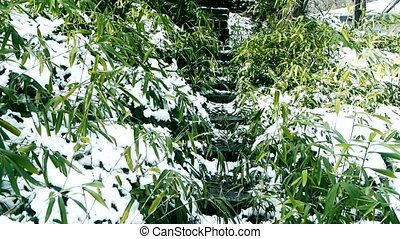 Snow covered Bamboo,swaying in wind,Lane,Trails,Road.