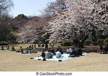 Cereza, flor, celebración, Tokio