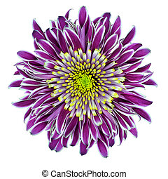 Chrysantemum Flower Purple with Lime Green Center -...