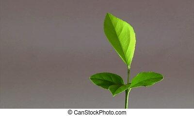 Lemon tree, 4 leaves
