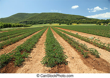 tomato field in Maremma region, Italy