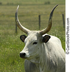Maremmana : breed of cattle reared in the Maremma, Italy