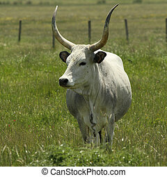 unique cow  - long horn cow, Tuscany