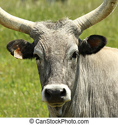cow  - chianina cow closeup, Typical for Tuscany