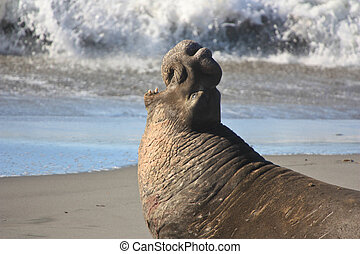 wounded warrior - Elephant seal screaming after a battle...
