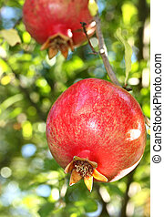 Pomegranate on Branch