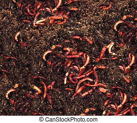 rojo, gusanos, abono, -, cebo, pesca