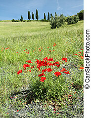poppies in Tuscany - tuscan countryside, Italy