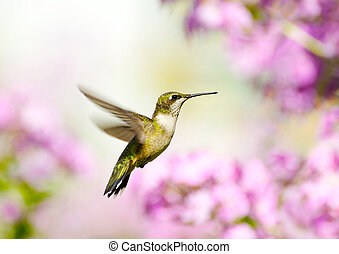 Female ruby throated hummingbird. - Close up image of a...