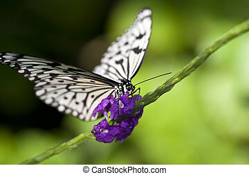 Paper Kite Butterfly - A macro shot of a Paper Kite...