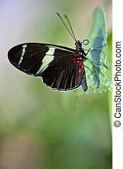 Sara Longwing Butterfly - A macro shot of a Sara Longwing...