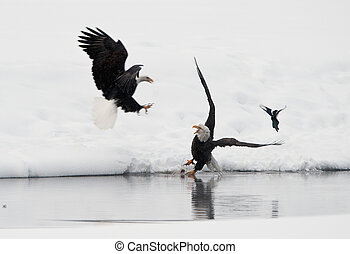 Fighting of Bald eagles Haliaeetus leucocephalus - Bald...