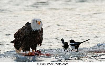 águila, calvo, alimentación