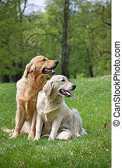 Golden retriever puppy - Two Golden retriever puppy in park...