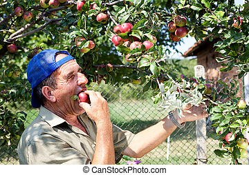 Apple orchard and old farmer - Bulgarian apple orchard with...