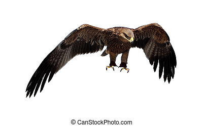 Steppe eagle Aquila rapax - Steppe eagle on the white...