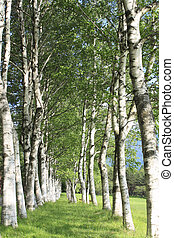Betula platyphylla - fresh green and blue skyHachimantai