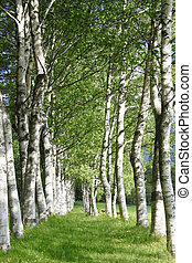 Betula platyphylla fresh green - fresh green and blue...