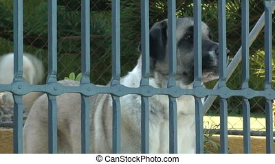 Dog Barking - Mastiff dog breed barking behind a fenced yard