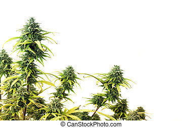Marijuana plant - The top of marijuana plant isolated over...