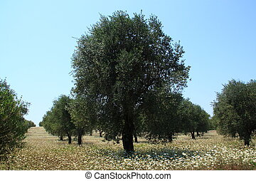 Rows of olive tree